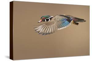 Wood Duck by Mircea Costina