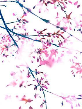 Cherry Blossom 7 by Mirja Paljakka