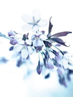 Cherry Blossom Dusted Blue by Mirja Paljakka