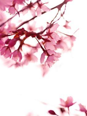 Pink Blossoms In Wind by Mirja Paljakka