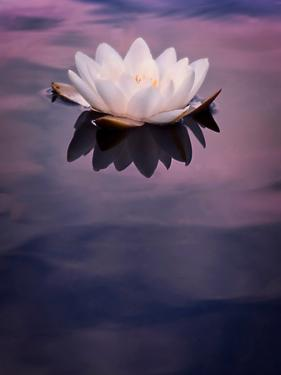Water Lily On Dark Water by Mirja Paljakka