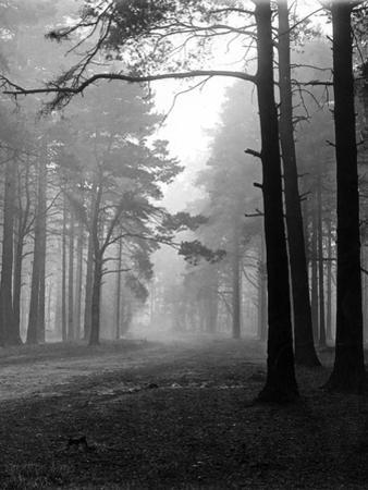 Mist in the Pinewoods