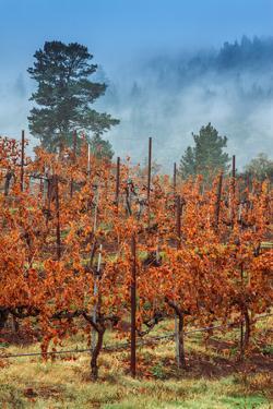 Misty Autumn Vineyard, Calistoga Napa Valley