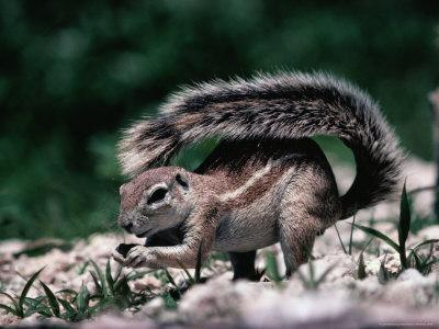 Cape Ground Squirrel (Xerus Inauris), Etosha National Park, Kunene, Namibia