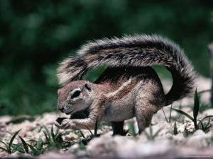 Cape Ground Squirrel (Xerus Inauris), Etosha National Park, Kunene, Namibia by Mitch Reardon