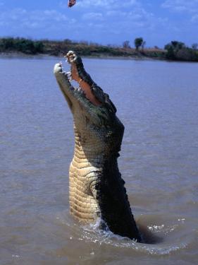 Crocodile (Crocodylidae Crocodilia) Jumping for Food on Adelaide River, Australia by Mitch Reardon
