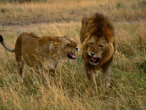 Lion and Lioness Growling at Each Other, Masai Mara National Reserve, Rift Valley, Kenya by Mitch Reardon