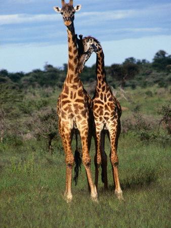 Male Giraffes (Giraffa Camelopardalis), Ngorongoro Conservation Area, Arusha, Tanzania