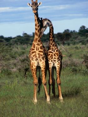 Male Giraffes (Giraffa Camelopardalis), Ngorongoro Conservation Area, Arusha, Tanzania by Mitch Reardon