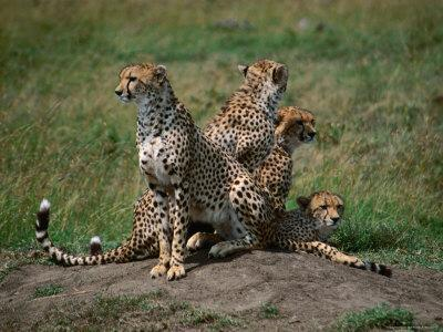 Mother Cheetah (Acinonyx Jubatus) with Cubs, Masai Mara National Reserve, Rift Valley, Kenya