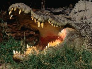 Saltwater Crocodile (Crocodylus Porosus), Kakadu National Park, Australia by Mitch Reardon