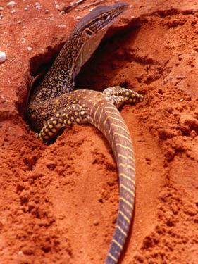 Sand Goanna (Veranus Gouldii), Sturt National Park, New South Wales, Australia by Mitch Reardon