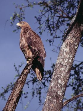 Tawny Eagle (Aquila Rapax) Perched in Tree, Masai Mara National Reserve, Rift Valley, Kenya by Mitch Reardon