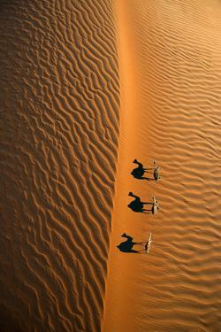 Aerial view of a line of camels casting shadows while walking in the Arabian Desert near the city o by Miva Stock