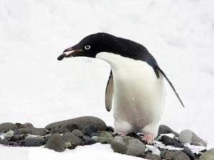 An Adelie Penguin (Pygoscelis Adeliae) at Paulet Island, Antarctica by Miva Stock