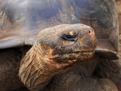 Close Up of a Galapagos Tortoise, Giant Tortoise, Geochelone Nigra, Galapagos Islands, Ecuador by Miva Stock