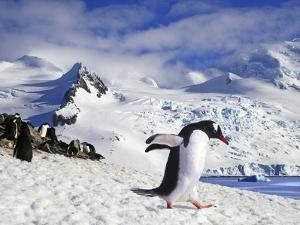 Gentoo Penguin (Pygoscelis Papua) Waddles Toward the Arctic Sea Near Paradise Harbor, Antarctica by Miva Stock