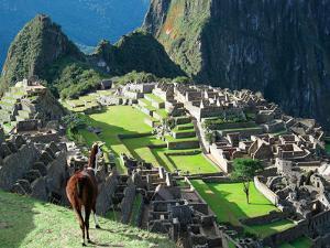 Llama, Machu Picchu, Peru by Miva Stock