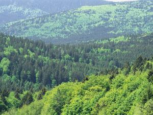 Mixed Evergreen and Deciduous Forest View in May