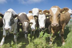 Mixes Herd of Cows at Fence