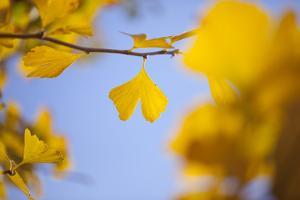 Gingko Tree in Autumn by mizuki/a.collectionRF