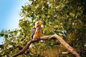 Hornbill Wild Bird by MJO Photo