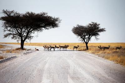 Impala Deer