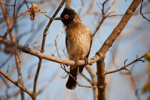 Wild Capebull Bird by MJO Photo