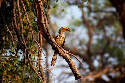 Wild Hornbill Bird