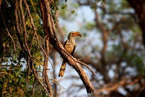 Wild Hornbill Bird by MJO Photo