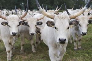 Hungarian Grey Cattle Herd in Field, Mohacs, Béda-Karapancsa, Duna Drava Np, Hungary, September by Möllers