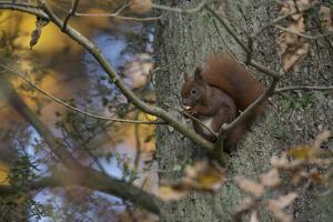 Red Squirrel (Sciurus Vulgaris) Feeding, Klampenborg Dyrehaven, Denmark, October 2008 by Möllers
