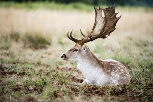 Male Fallow Deer in the Wild Forest by Mohana AntonMeryl