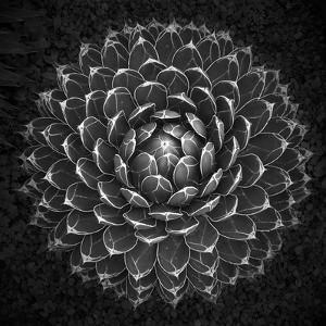 Agave Victoria by Moises Levy