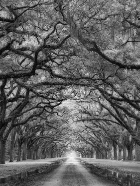 Oaks Avenue 2 BW by Moises Levy