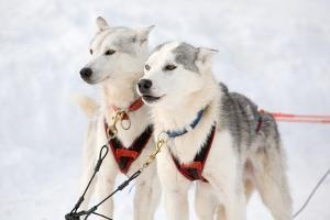 Husky Sled-Dogs by Molka
