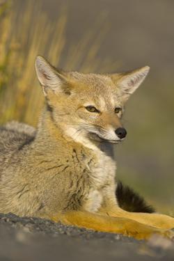 Alert Paragonian Grey Fox by Momatiuk - Eastcott