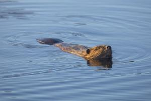Beaver Swimming in Pond by Momatiuk - Eastcott