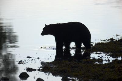 Black Bear Looking for Coho Salmon in Sea