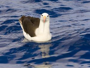 Black-Browed Albatross Floating on Sea by Momatiuk - Eastcott