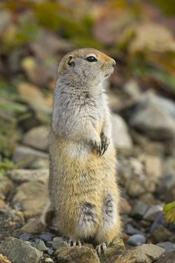 Black Tailed Prairie Dog by Momatiuk - Eastcott
