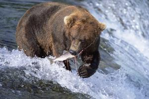Brown (Grizzly) Bear Catching Fish in Alaska by Momatiuk - Eastcott