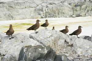 Brown Skuas Standing on Rocks by Momatiuk - Eastcott