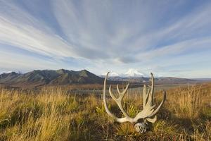 Caribou Antlers in Tundra by Momatiuk - Eastcott