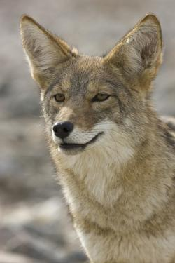 Coyote in Death Valley National Park by Momatiuk - Eastcott