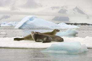 Crabeater Seals Resting on Ice Floe by Momatiuk - Eastcott