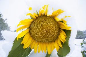 Cultivated Sunflower with Ripe Seeds by Momatiuk - Eastcott