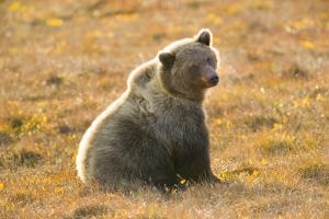 Female Grizzly Bear Sitting in Tundra by Momatiuk - Eastcott