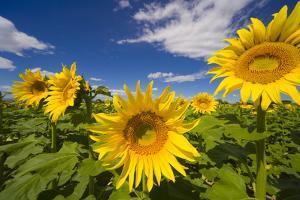 Field of Sunflowers by Momatiuk - Eastcott