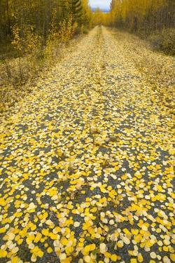 Forest Road Covered with Aspen Leaves in Autumn by Momatiuk - Eastcott